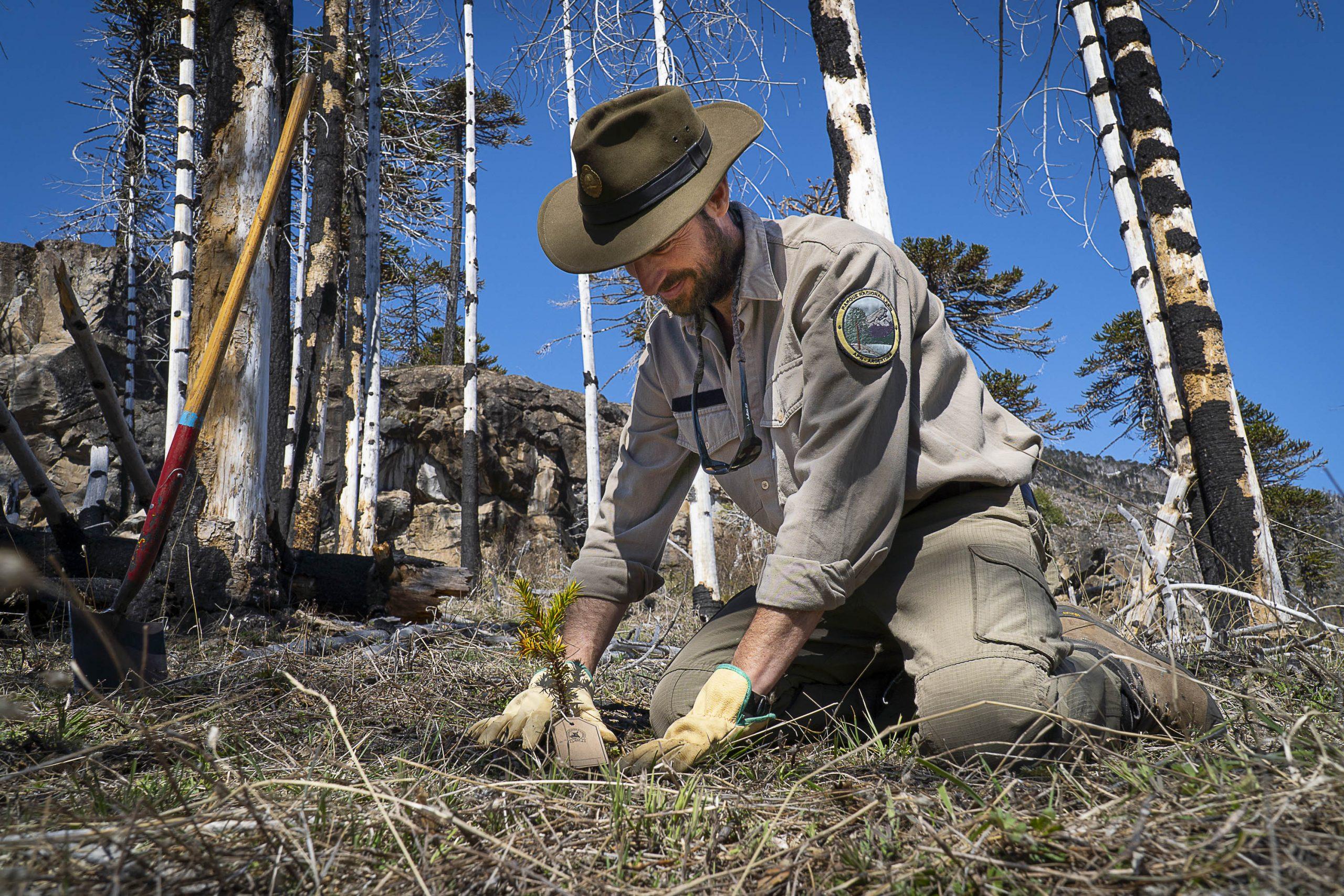 El Parque Nacional Lanín plantó 300 araucarias en el bosque quemado